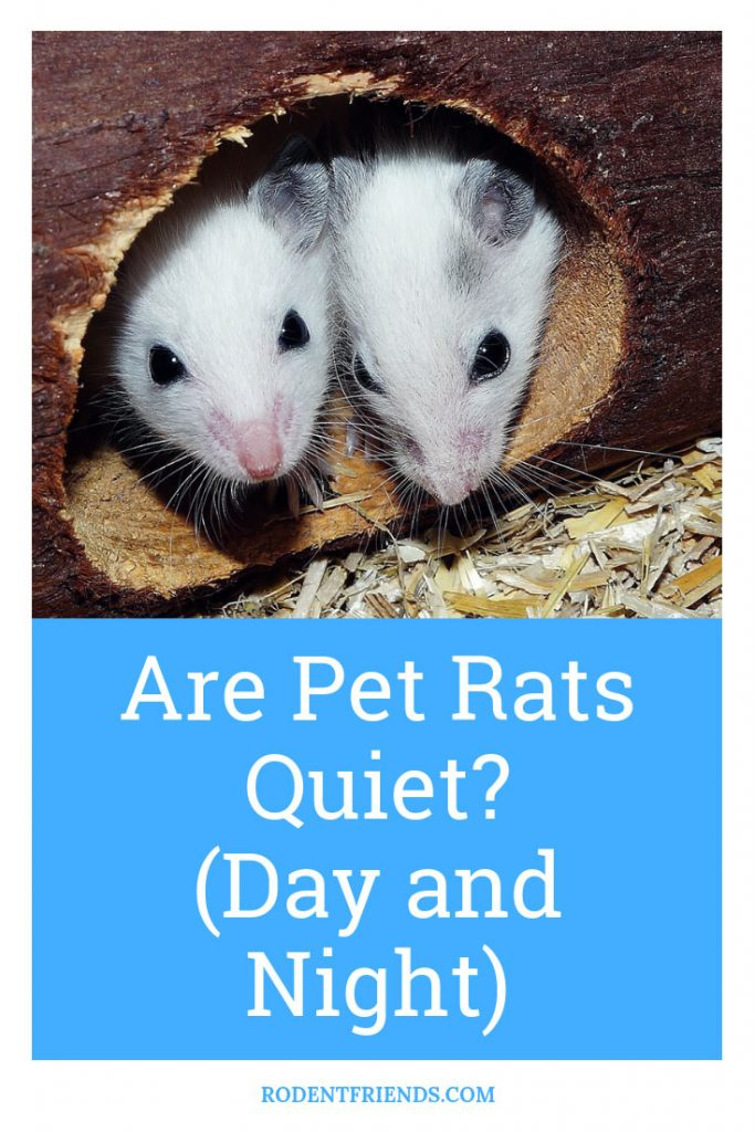 Are Pet Rats Quiet During The Day And Night - Pinterest Cover