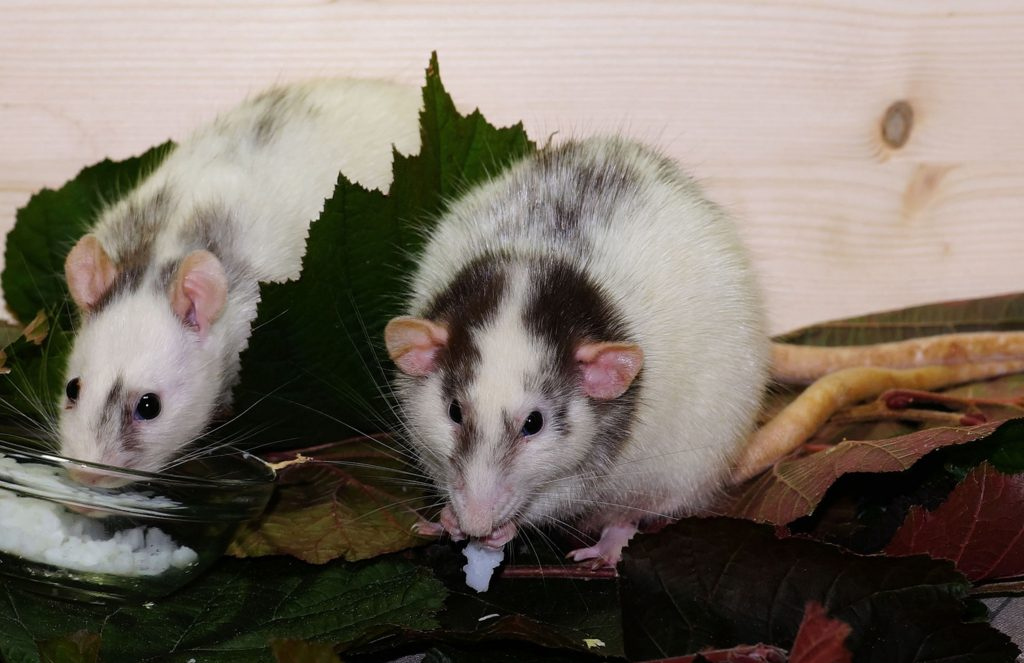 pet rats chewing some treats