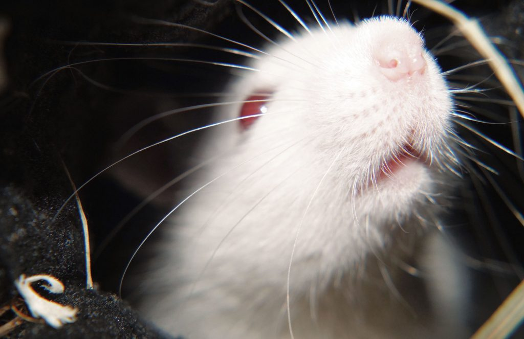 Albino pet rat in the post about yawning pet rats