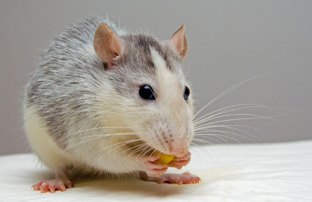 Pet Rat chewing on a treat, overgrown teeth image