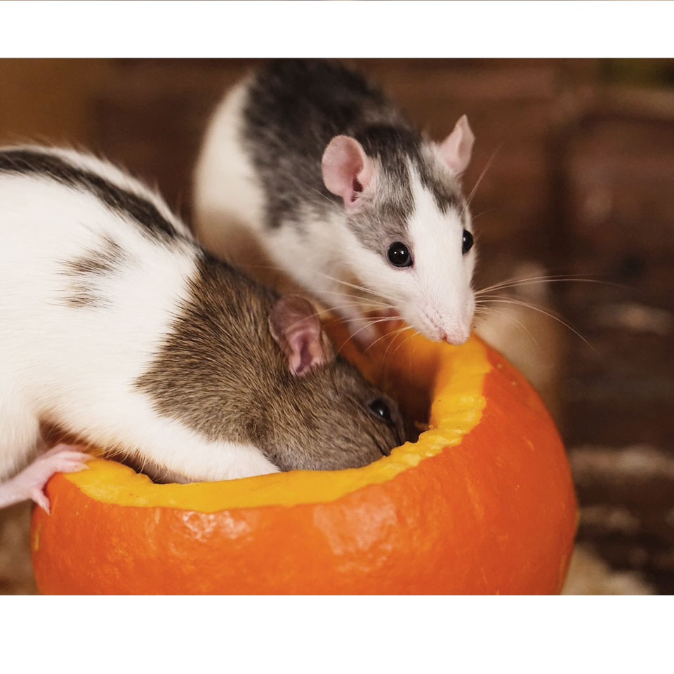 Cover image of the article about the best pet rat treats on rodent friends!