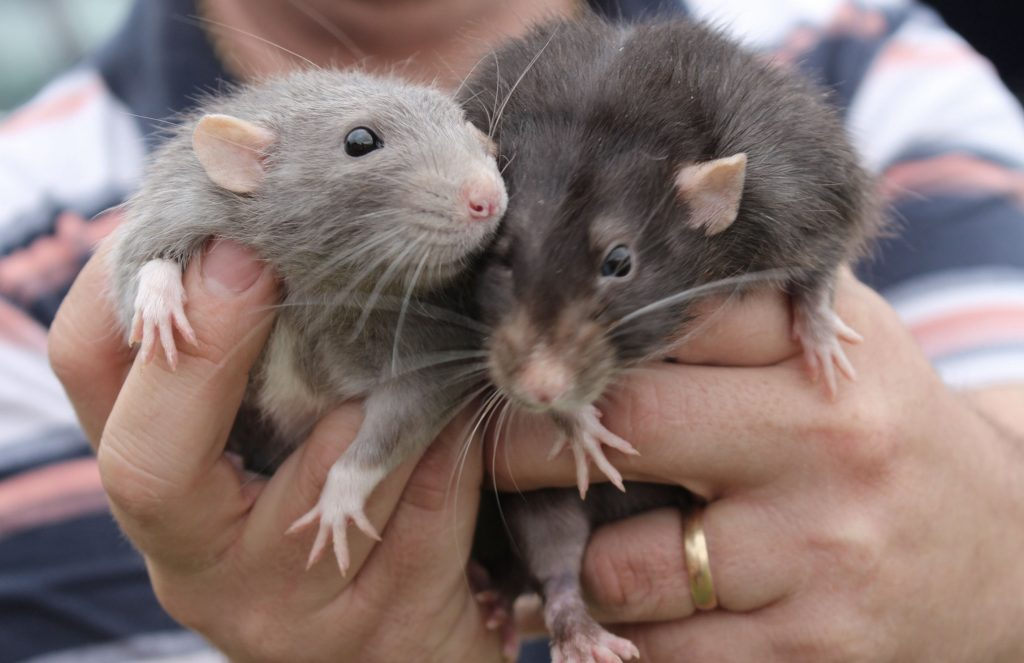 Two pet rats being held