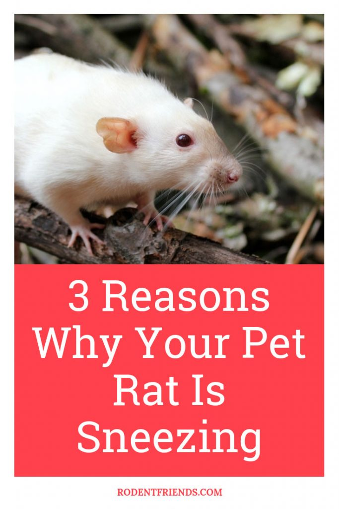 3 Reasons Why Your Pet Rat Is Sneezing Pinterest