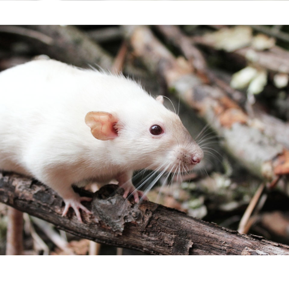 3 Reasons Why Your Pet Rat Is Sneezing Thumbnail