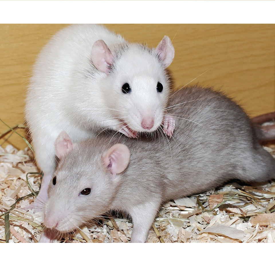 Pet rats cover for the average pet rat weight article
