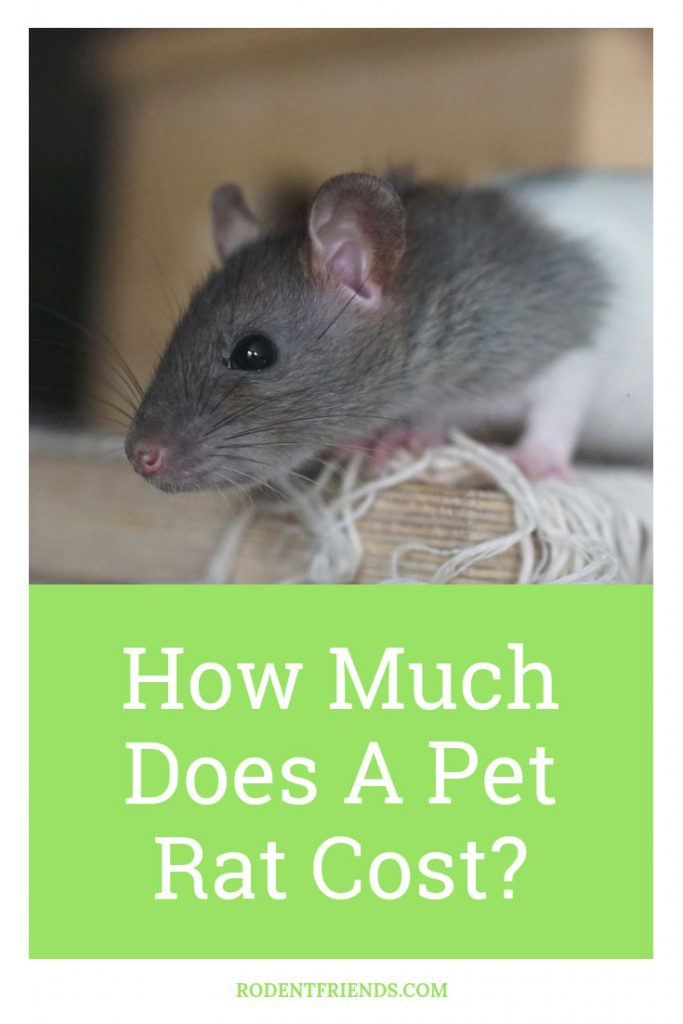 How Much Does A Pet Rat Cost Pinterest Cover