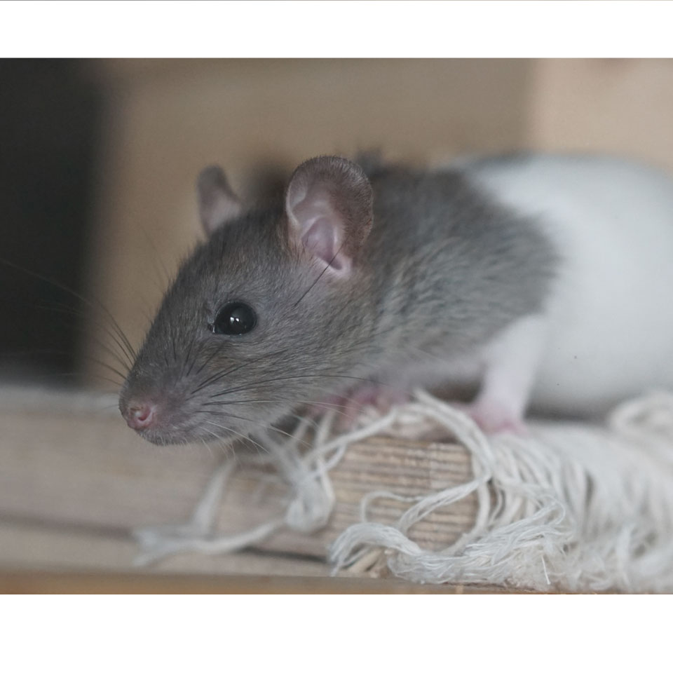 How Much Does A Pet Rat Cost Thumbnail