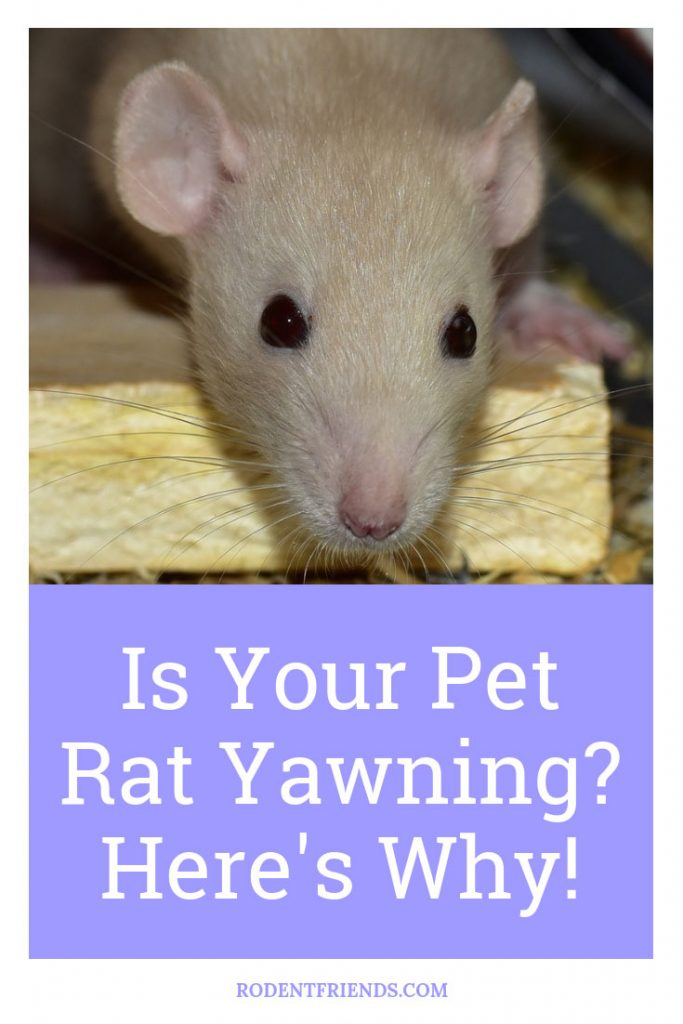 Is Your Pet Rat Yawning A Lot Pinterest