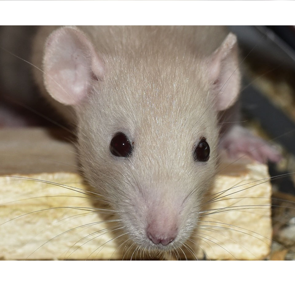 Is Your Pet Rat Yawning A Lot Thumbnail