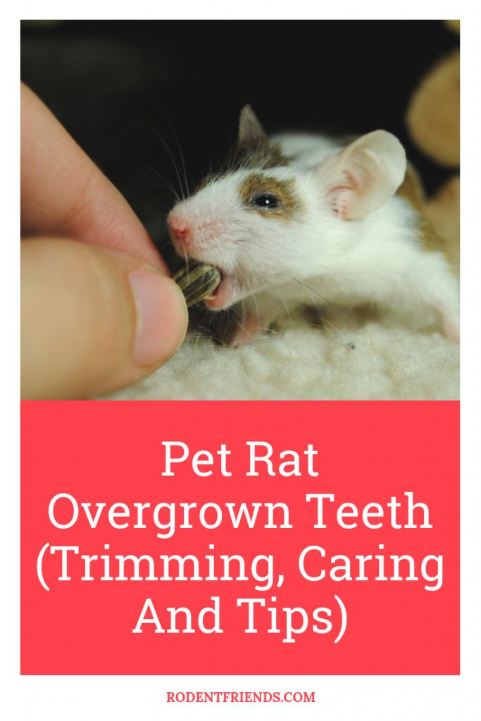 Pet Rat Overgrown Teeth Pinterest