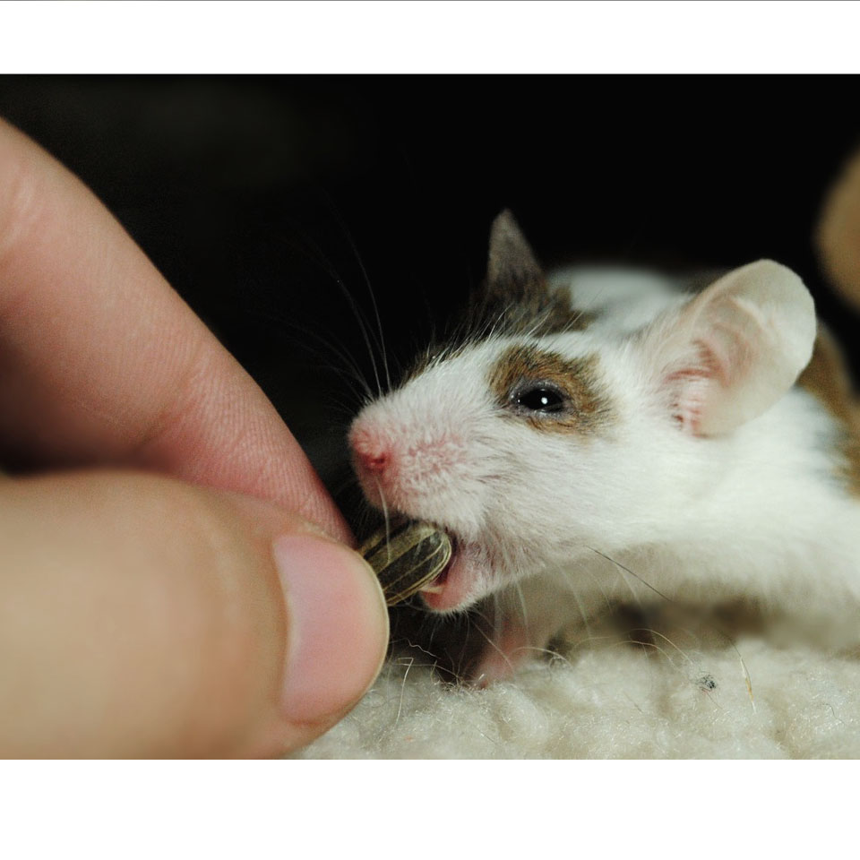 Pet Rat Overgrown Teeth Thumbnail