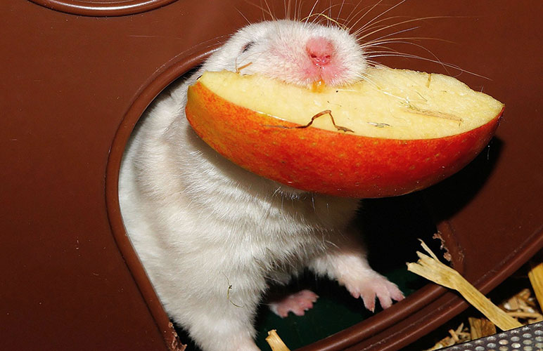 Pet rat eating a healthy snack
