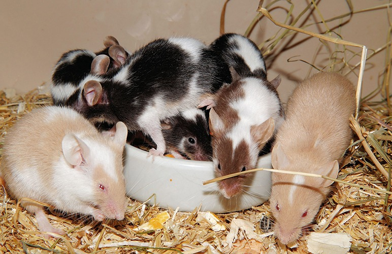Homemade Grain Mixes is a wonderful recipe for pet rats!