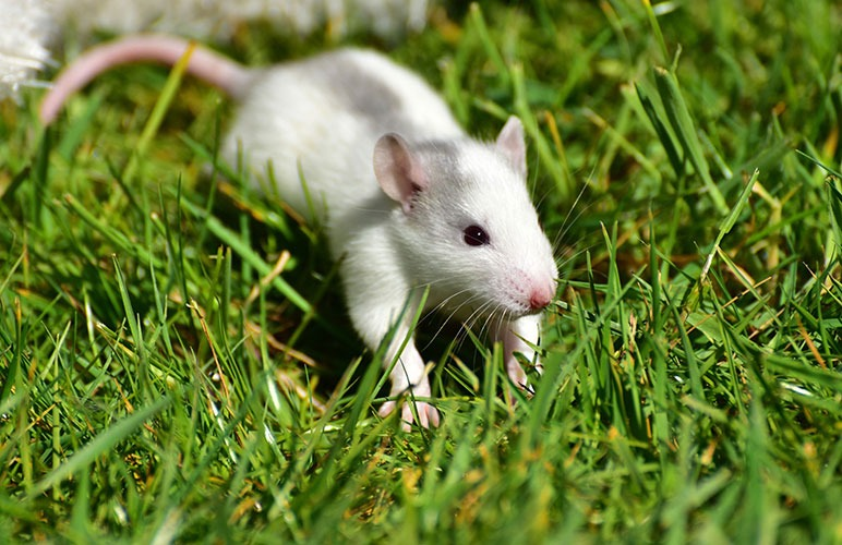 Healthy pet rat on grass!