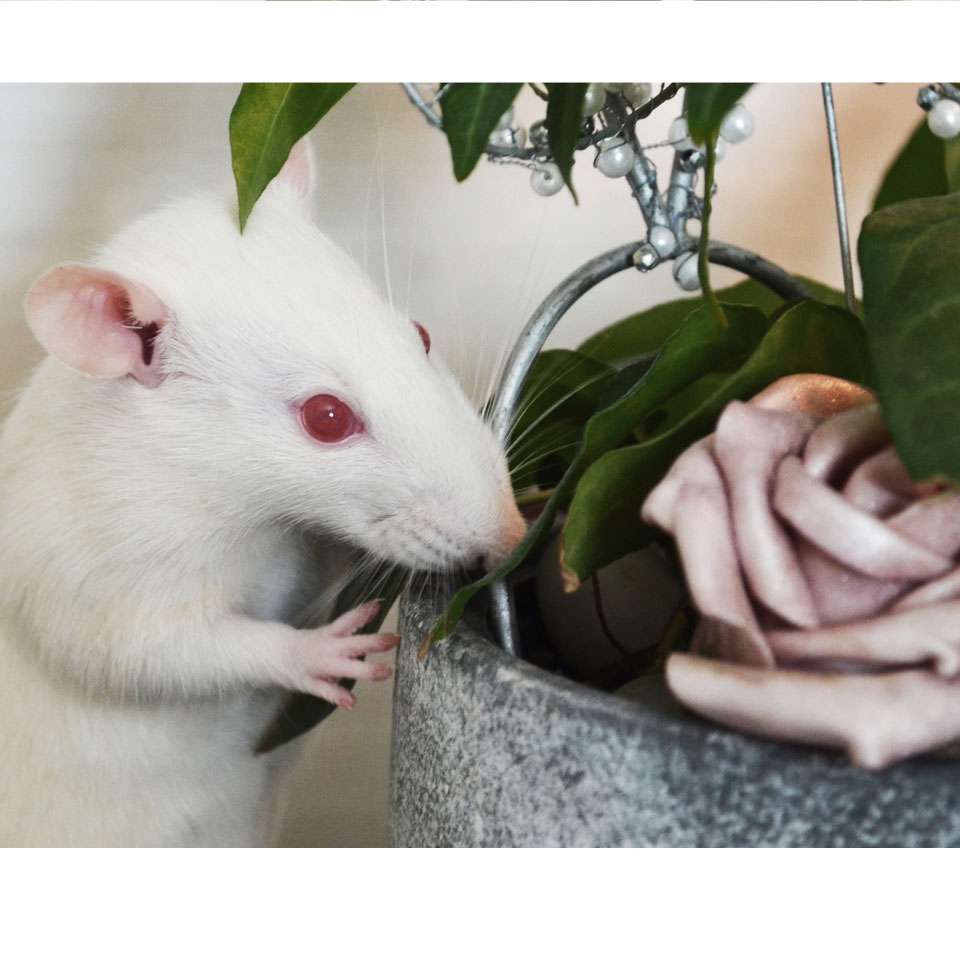 11 Tips to Reduce And Eliminate Pet Rat Odor In Your Home Thumbnail