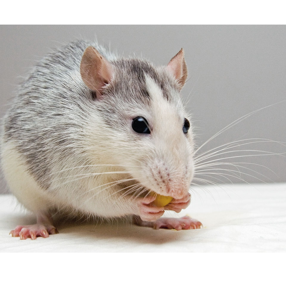 6 Best Recipes To Feed Your Rat Thumbnail