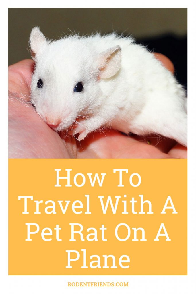 How To Travel With A Pet Rat On A Plane Pinterest cover