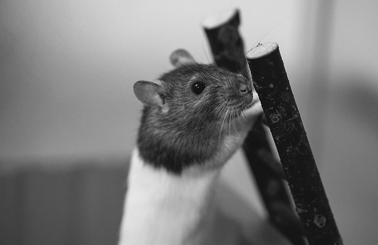 Enrich your pet rats environment with toys like this one, a simple wooden ladder!