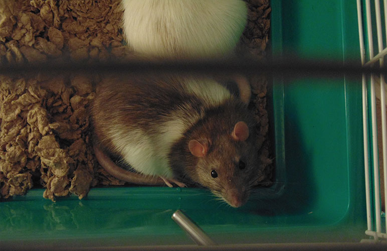 Pet rats on a cage
