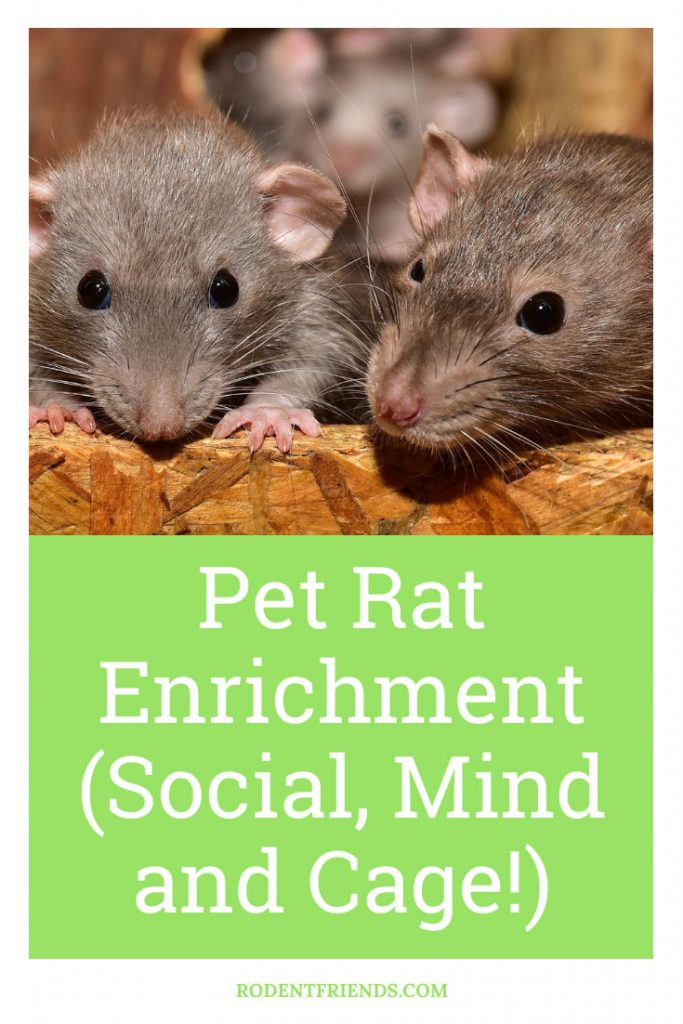 Pet Rat Enrichment, Pinterest Image