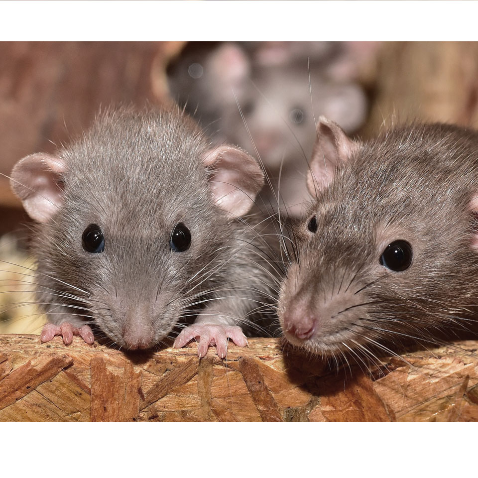 Pet Rat Enrichment Thumbnail