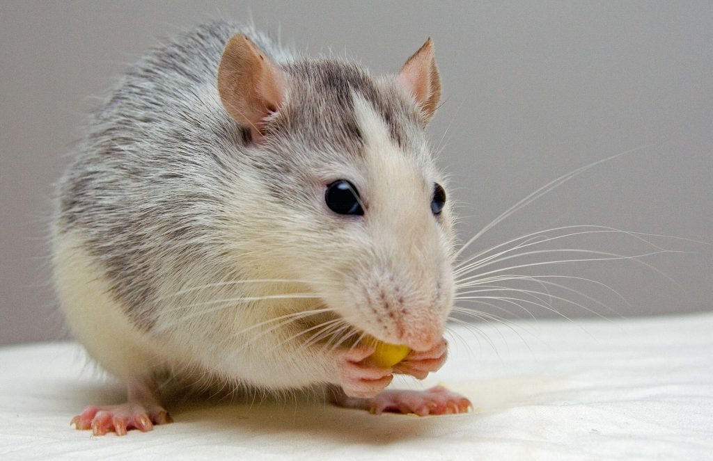 Pet rat eating some delicious food