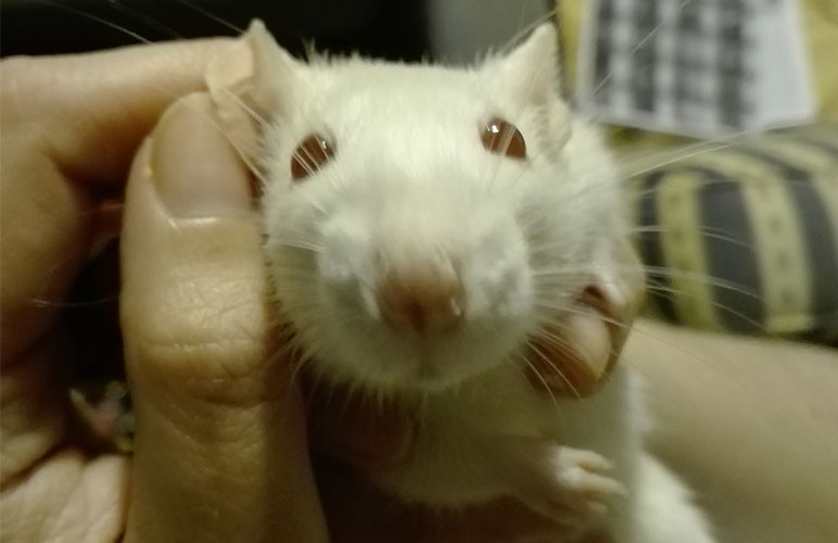 Pet rat being grabbed by owner