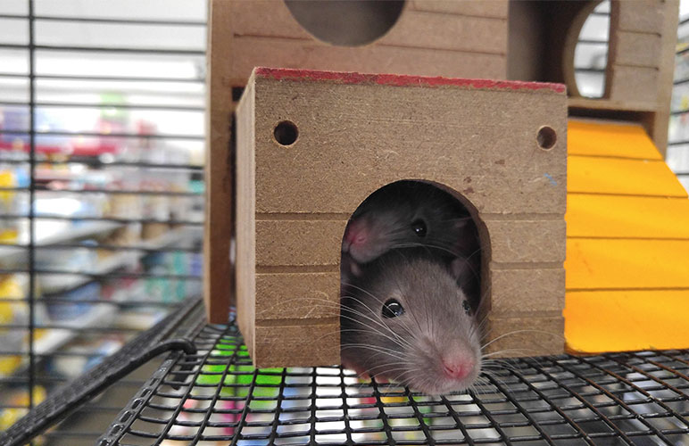 Two pet rats hiding in their home.