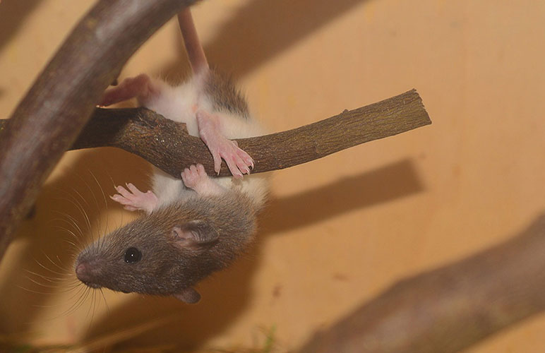 Cute pet rat hanging from a wooden branch