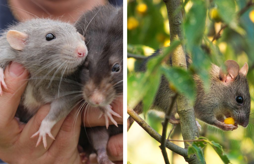 Differences between pet rats and a mouse