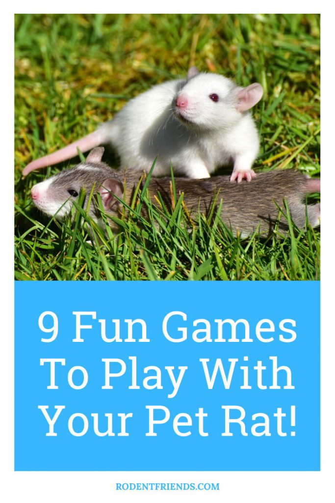 Two Pet Rats Playing, Pinterest Cover