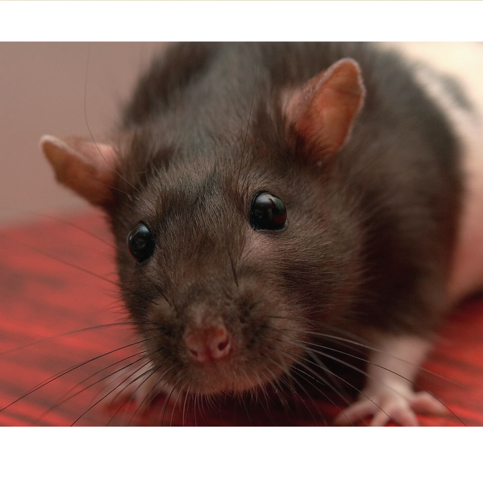 Creating A Healthy Pet Rat Diet - Thumbnail Image