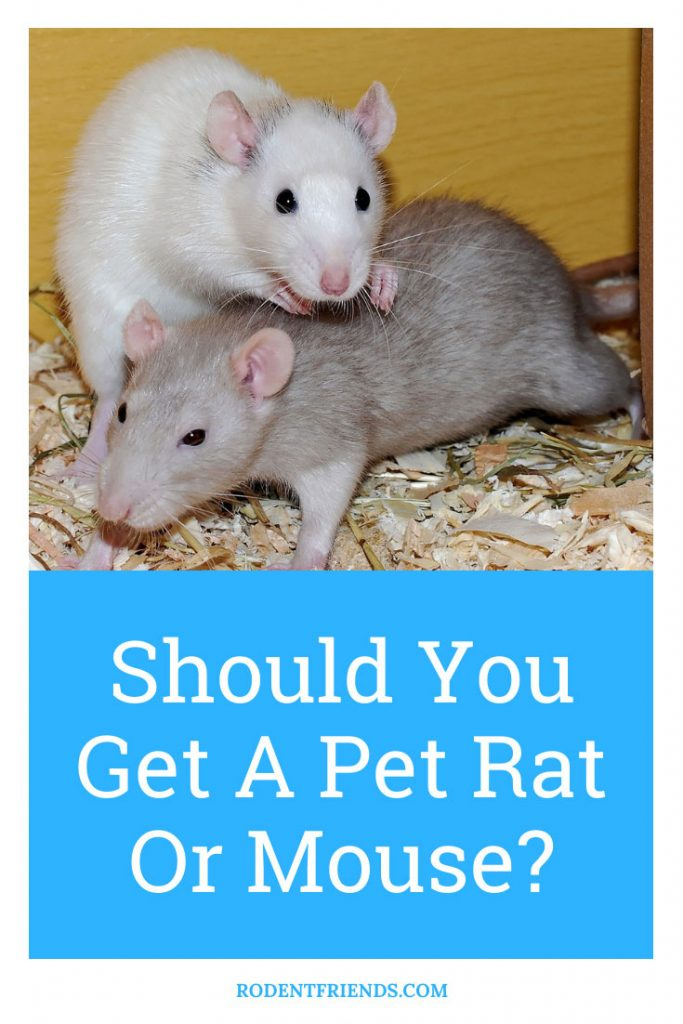 Pinterest cover for Shoul you get a pet rat or a mouse?