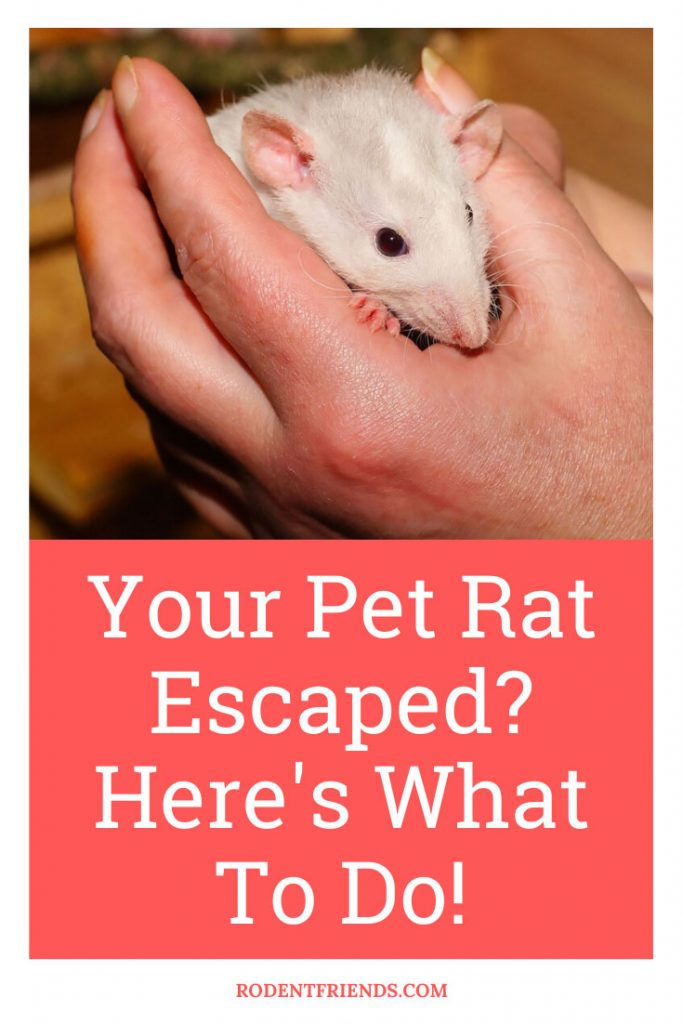 Pet rat being handled by a human - Pinterest Cover