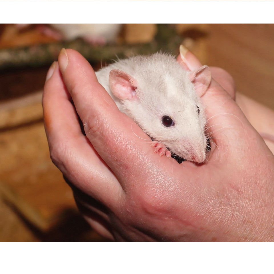 Your Pet Rat Escaped Thumbnail