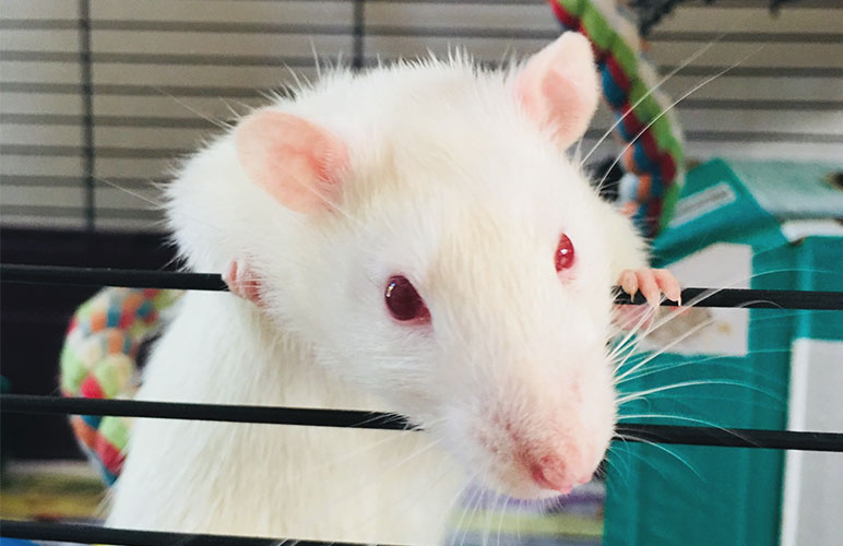 Adorable Albino Pet Rat Staring at the camera through the cage door.