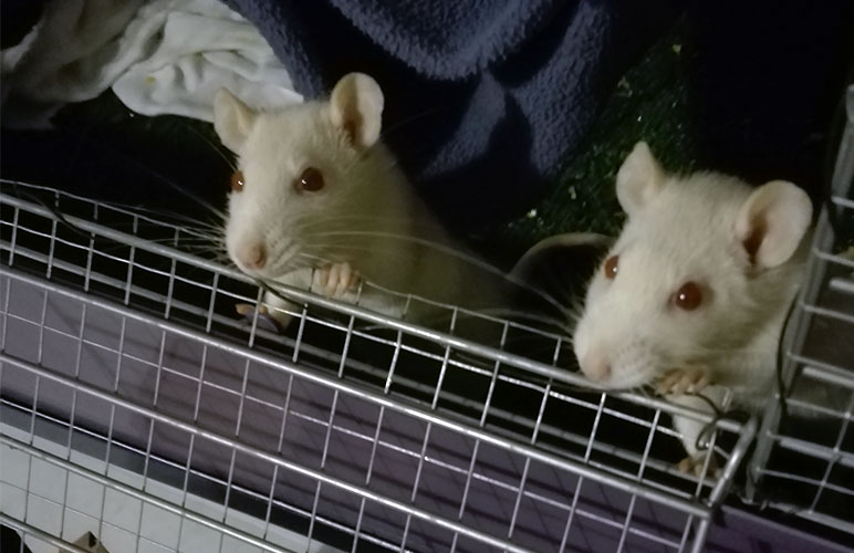 our adorable pet rats looking out of their cage!