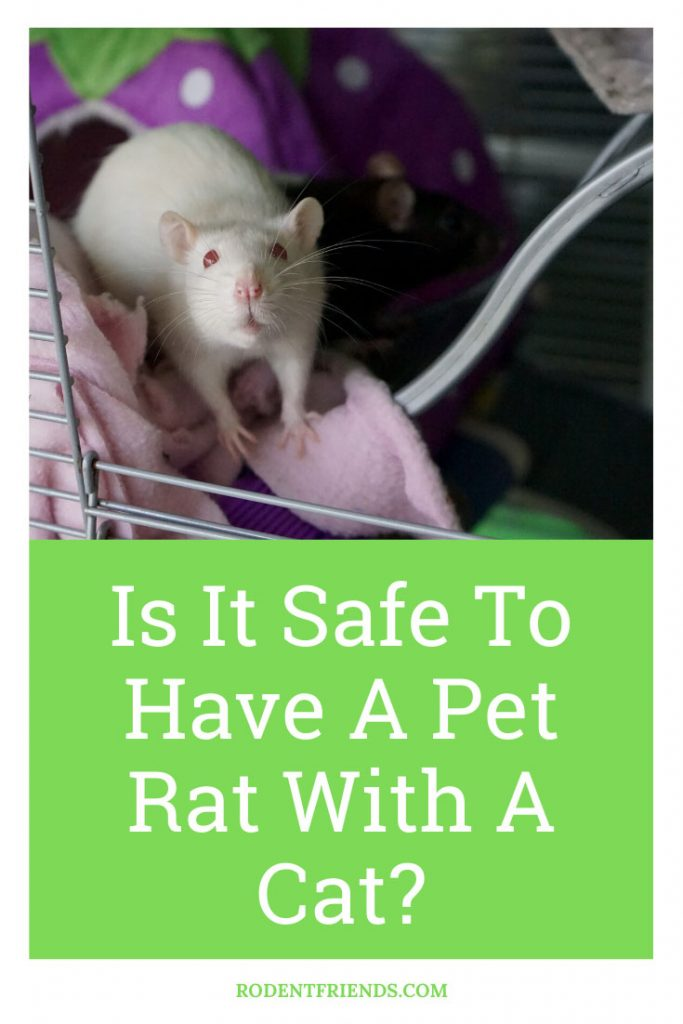 Is it safe to have a pet rat with a cat? Pinterest Cover